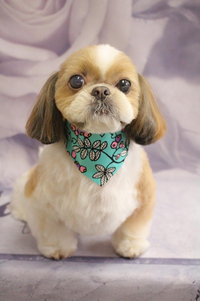 正統派シーズー♫ コースから選ぶ-シニア(8才~)-シーズー-ペットカットコース-年齢から選ぶ-犬種から選ぶ-カットスタイル