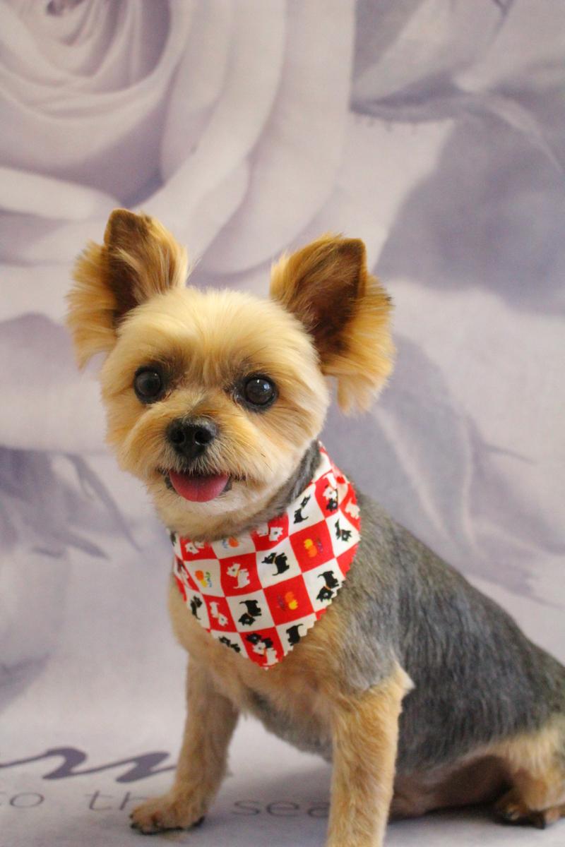 歯磨き&カット 2時間-コースから選ぶ-シニア(8才~)-スピーディーカットコース-ヨーキー-年齢から選ぶ-所要時間から選ぶ-犬種から選ぶ-カットスタイル