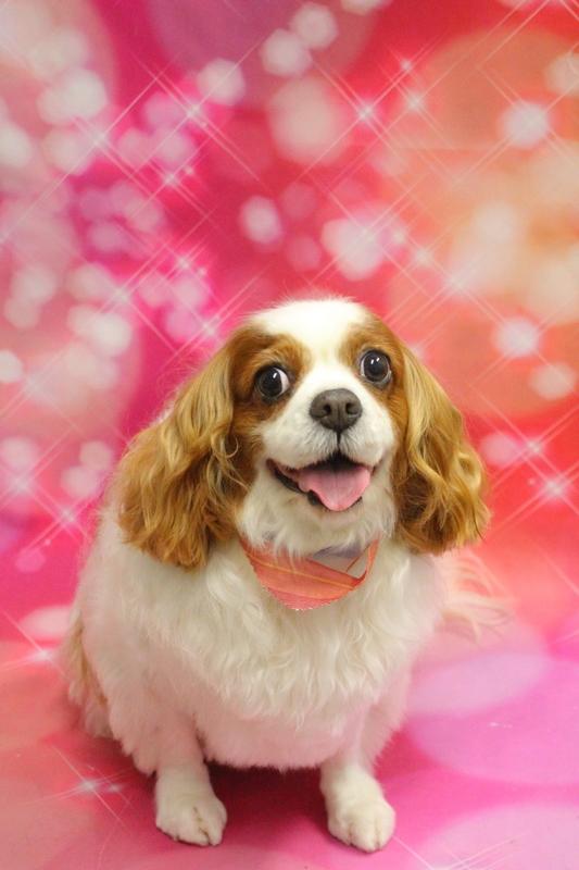 グルーミング☆ 1時間半-キャバリア-グルーミングコース-コースから選ぶ-シニア(8才~)-年齢から選ぶ-所要時間から選ぶ-犬種から選ぶ-カットスタイル
