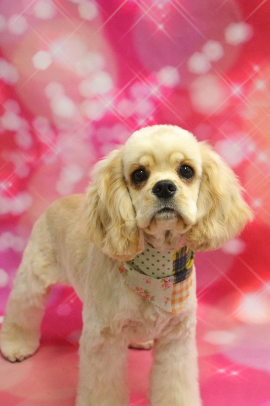 パピーちゃん☆ 2時間半-Aコッカースパニエル-コースから選ぶ-パピー(3ヶ月~10ヶ月)-ペットカットコース-年齢から選ぶ-所要時間から選ぶ-犬種から選ぶ-カットスタイル