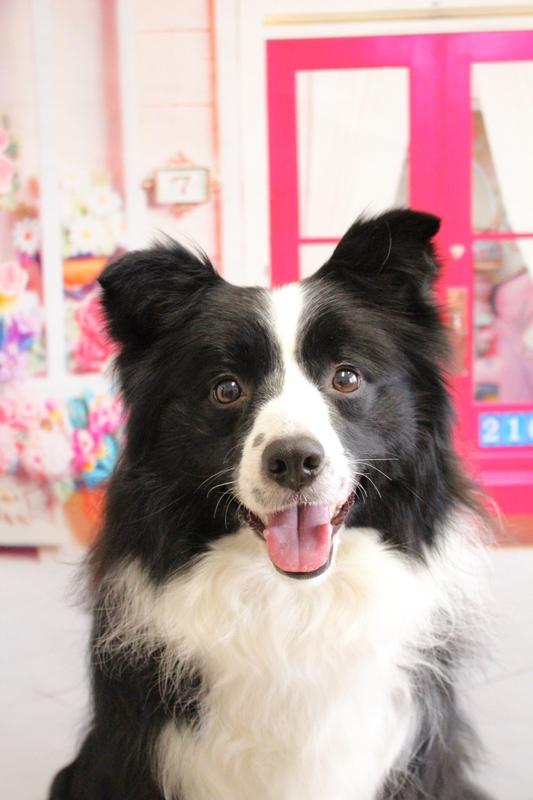グルーミング☆☆ 1時間半-アダルト(10ヶ月~8才)-グルーミングコース-コースから選ぶ-ボーダーコリー-年齢から選ぶ-悩み・特徴から選ぶ-所要時間から選ぶ-毛がよく抜ける-犬種から選ぶ-カットスタイル