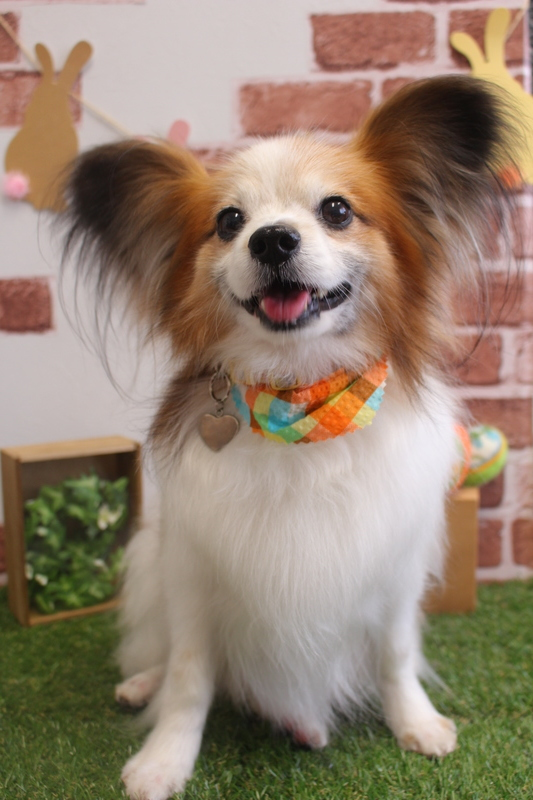 グルーミング✨ 1時間-グルーミングコース-コースから選ぶ-シニア(8才~)-パピヨン-年齢から選ぶ-悩み・特徴から選ぶ-所要時間から選ぶ-毛がよく抜ける-犬種から選ぶ-カットスタイル