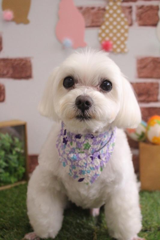 ふんわりマルちゃん♥ 2時間-コースから選ぶ-シニア(8才~)-ペットカットコース-マルチーズ-年齢から選ぶ-所要時間から選ぶ-犬種から選ぶ-カットスタイル