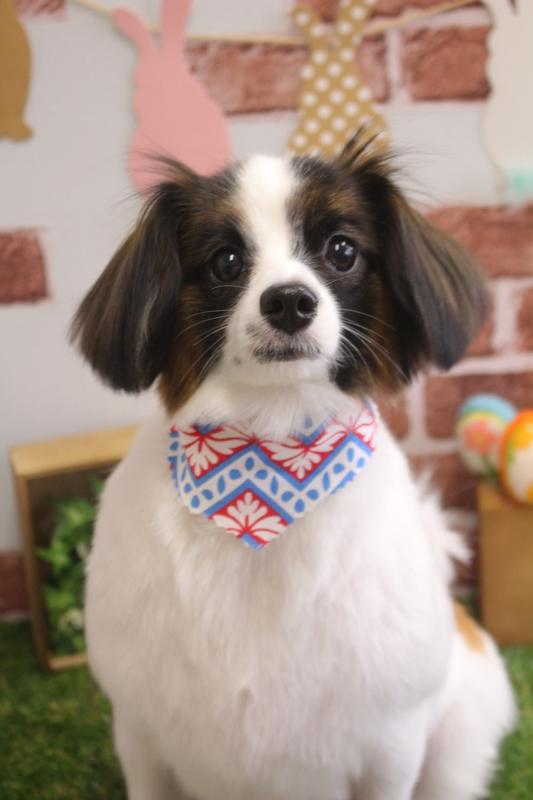 ラブリ~♡パピヨン アダルト(10ヶ月~8才)-コースから選ぶ-パピヨン-ペットカットコース-年齢から選ぶ-犬種から選ぶ-カットスタイル