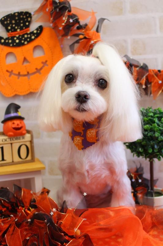 トップノット☆☆ 2時間-アダルト(10ヶ月~8才)-コースから選ぶ-ペットカットコース-マルチーズ-年齢から選ぶ-所要時間から選ぶ-犬種から選ぶ-カットスタイル