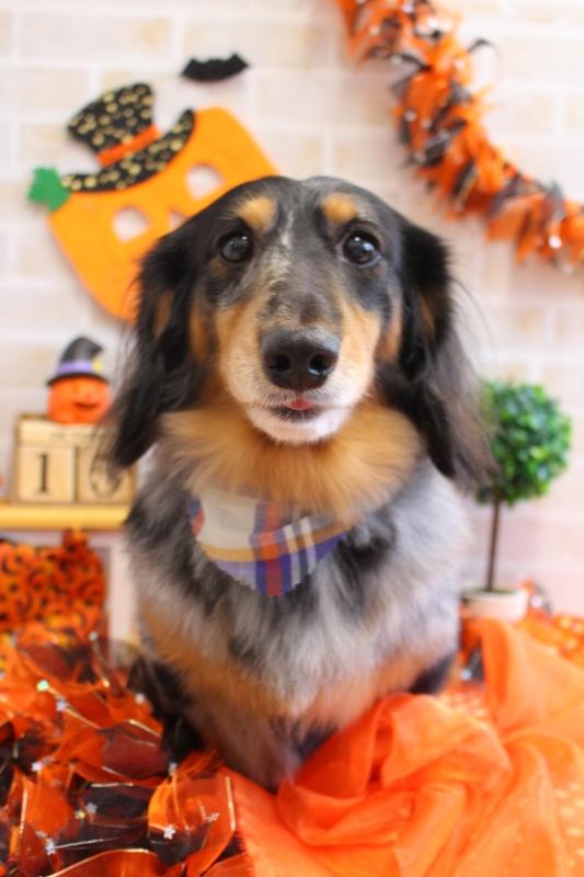 グルーミング♪ 1時間半-アダルト(10ヶ月~8才)-グルーミングコース-コースから選ぶ-ダックス-年齢から選ぶ-所要時間から選ぶ-犬種から選ぶ-カットスタイル