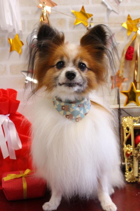 サラサラヘア~✨ 1時間半-グルーミングコース-コースから選ぶ-シニア(8才~)-パピヨン-年齢から選ぶ-所要時間から選ぶ-犬種から選ぶ-カットスタイル