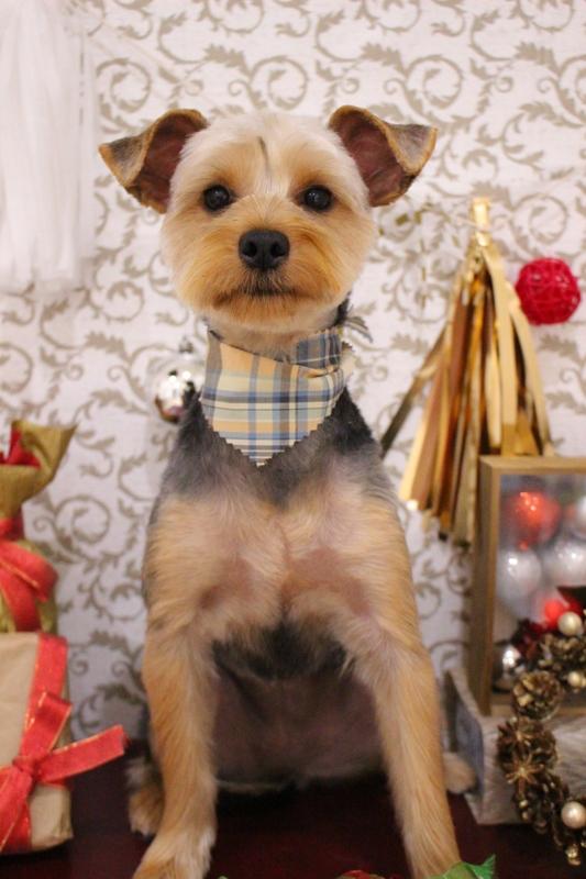 お耳ぴょこ☆ 2時間-コースから選ぶ-スピーディーカットコース-パピー(3ヶ月~10ヶ月)-ヨーキー-年齢から選ぶ-所要時間から選ぶ-犬種から選ぶ-カットスタイル