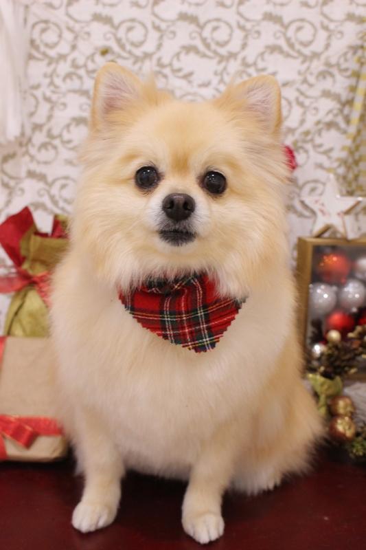 ふわサラ~☆ミ 1時間半-MIX犬-アダルト(10ヶ月~8才)-コースから選ぶ-スピーディーカットコース-年齢から選ぶ-所要時間から選ぶ-犬種から選ぶ-カットスタイル