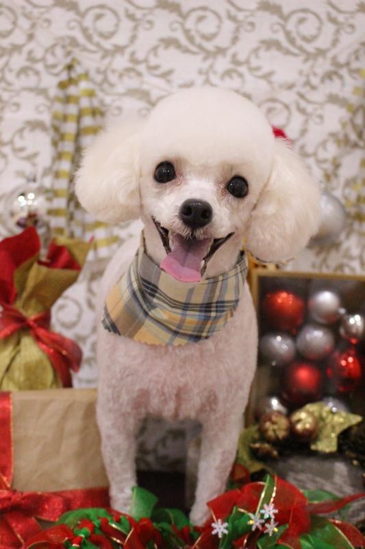お顔バリカン♡ 2時間-アダルト(10ヶ月~8才)-コースから選ぶ-スピーディーカットコース-プードル-年齢から選ぶ-所要時間から選ぶ-犬種から選ぶ-カットスタイル