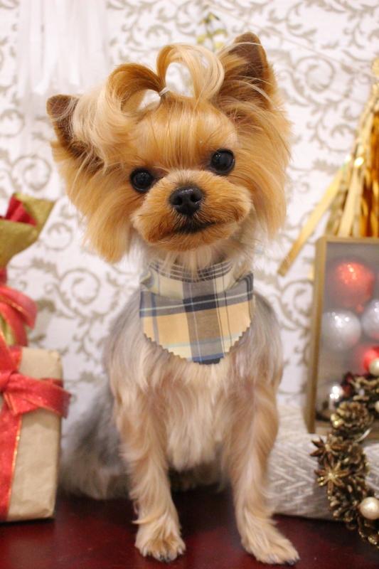 トップノット♡ 2時間-アダルト(10ヶ月~8才)-コースから選ぶ-ペットカットコース-ヨーキー-年齢から選ぶ-所要時間から選ぶ-犬種から選ぶ-カットスタイル