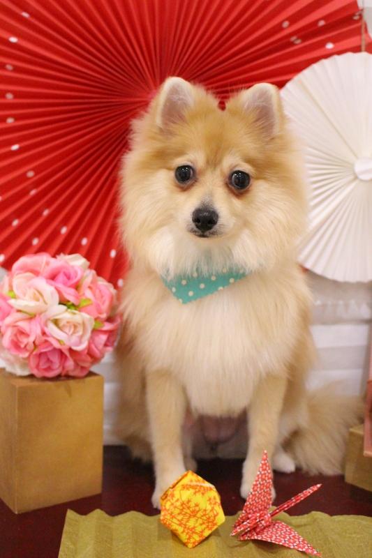飾り毛カット✂ 1時間半-コースから選ぶ-スピーディーカットコース-パピー(3ヶ月~10ヶ月)-ポメラニアン-年齢から選ぶ-所要時間から選ぶ-犬種から選ぶ-カットスタイル