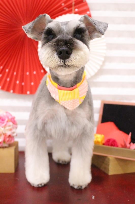 ガーリーシュナちゃん♡ 2時間半-Mシュナウザー-アダルト(10ヶ月~8才)-コースから選ぶ-ペットカットコース-年齢から選ぶ-所要時間から選ぶ-犬種から選ぶ-カットスタイル