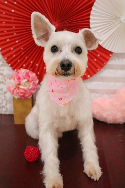 白シュナちゃん♡ 2時間半-Mシュナウザー-アダルト(10ヶ月~8才)-コースから選ぶ-ペットカットコース-年齢から選ぶ-所要時間から選ぶ-犬種から選ぶ-カットスタイル