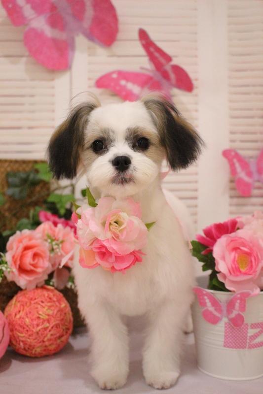 パピーちゃん♡♡ 2時間半-MIX犬-コースから選ぶ-パピー(3ヶ月~10ヶ月)-ペットカットコース-年齢から選ぶ-所要時間から選ぶ-犬種から選ぶ-カットスタイル