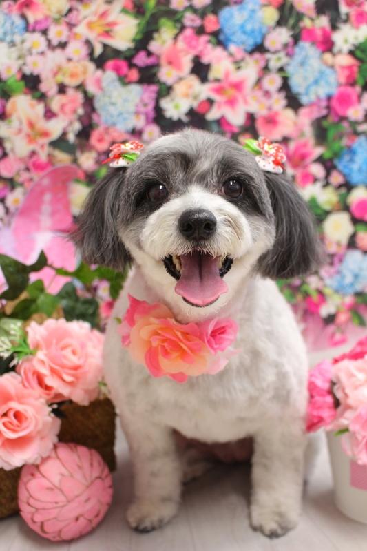 ころりんmix♬ 2時間半-MIX犬-アダルト(10ヶ月~8才)-コースから選ぶ-ペットカットコース-年齢から選ぶ-所要時間から選ぶ-犬種から選ぶ-カットスタイル
