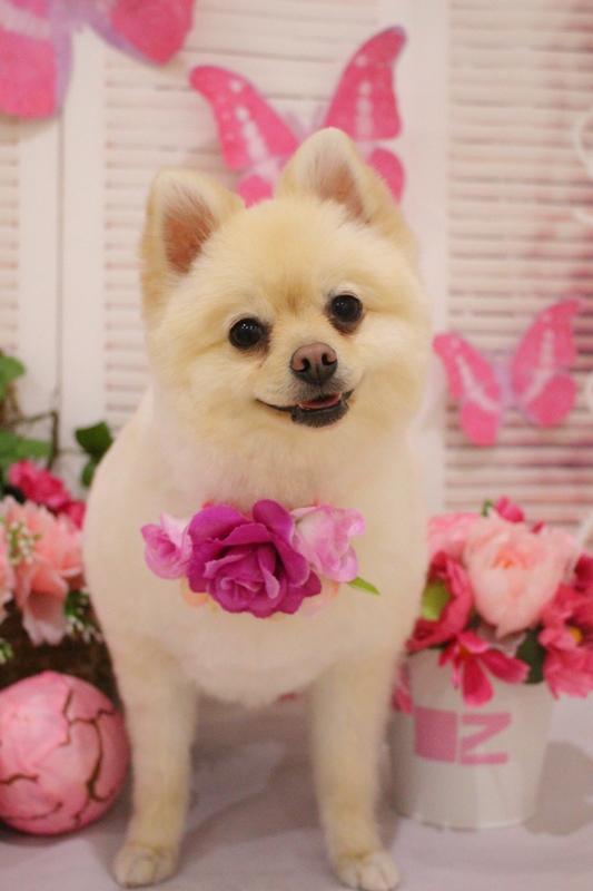 タヌキカット♡ 2時間半-アダルト(10ヶ月~8才)-オールシザーコース-コースから選ぶ-ポメラニアン-年齢から選ぶ-所要時間から選ぶ-犬種から選ぶ-カットスタイル