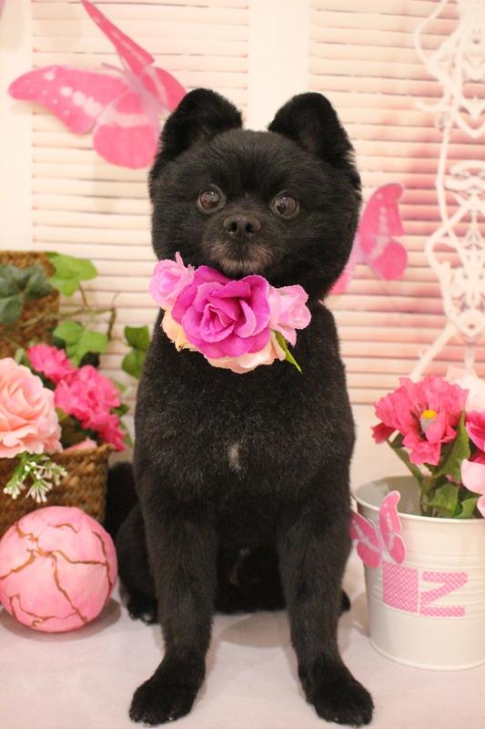 くまちゃんカット♡ 2時間-アダルト(10ヶ月~8才)-コースから選ぶ-ペットカットコース-ポメラニアン-年齢から選ぶ-所要時間から選ぶ-犬種から選ぶ-カットスタイル
