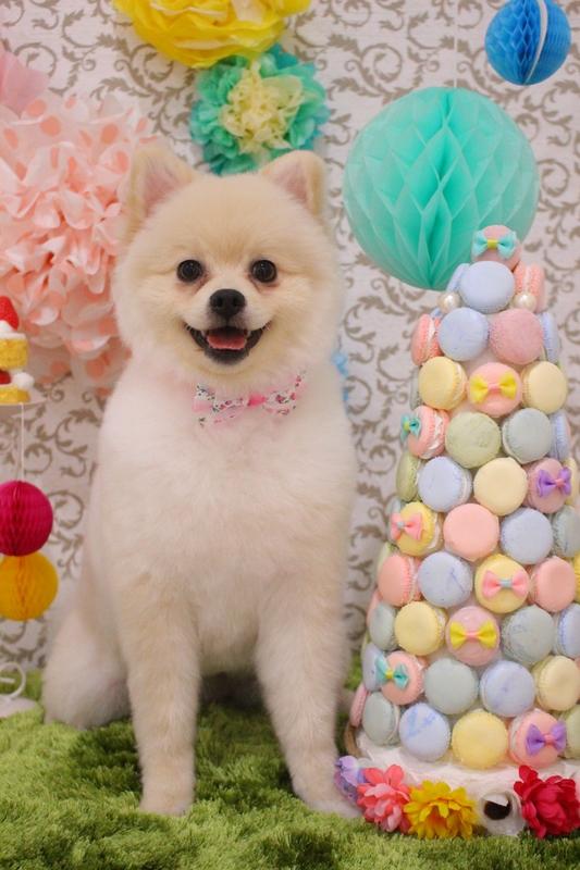 タヌキカット☆ 2時間-コースから選ぶ-パピー(3ヶ月~10ヶ月)-ペットカットコース-ポメラニアン-年齢から選ぶ-所要時間から選ぶ-犬種から選ぶ-カットスタイル