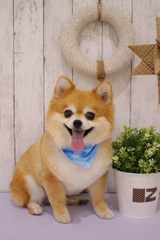 たぬきカット☆ 2時間-アダルト(10ヶ月~8才)-コースから選ぶ-ペットカットコース-ポメラニアン-年齢から選ぶ-所要時間から選ぶ-犬種から選ぶ-カットスタイル