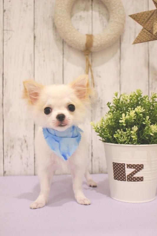 パピーちゃん 1時間-グルーミングコース-コースから選ぶ-チワワ-パピー(3ヶ月~10ヶ月)-年齢から選ぶ-所要時間から選ぶ-犬種から選ぶ-カットスタイル