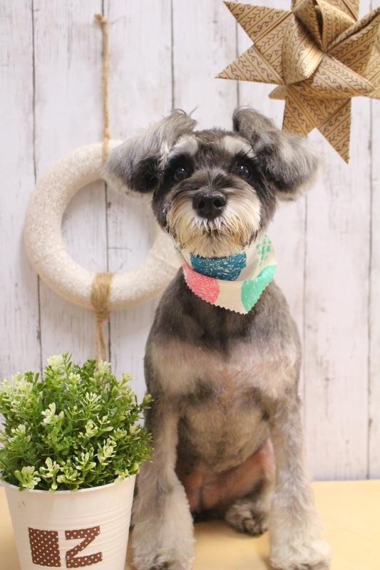 シュナベア☆ 2時間半-Mシュナウザー-アダルト(10ヶ月~8才)-コースから選ぶ-ペットカットコース-年齢から選ぶ-所要時間から選ぶ-犬種から選ぶ-カットスタイル