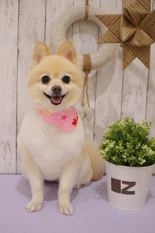 柴犬カット♡ 2時間半-アダルト(10ヶ月~8才)-オールシザーコース-コースから選ぶ-ポメラニアン-年齢から選ぶ-所要時間から選ぶ-犬種から選ぶ-カットスタイル