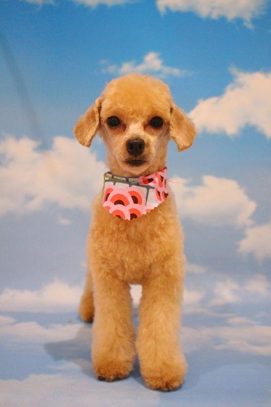 お顔バリカン 2時間半-アダルト(10ヶ月~8才)-コースから選ぶ-プードル-ペットカットコース-年齢から選ぶ-所要時間から選ぶ-犬種から選ぶ-カットスタイル