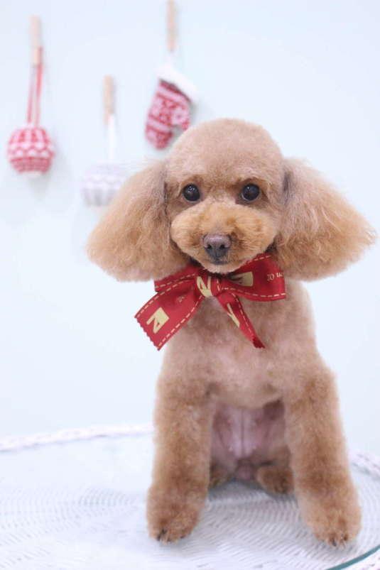お耳長め 3時間以上-アダルト(10ヶ月~8才)-コースから選ぶ-プードル-ペットカットコース-年齢から選ぶ-所要時間から選ぶ-犬種から選ぶ-カットスタイル