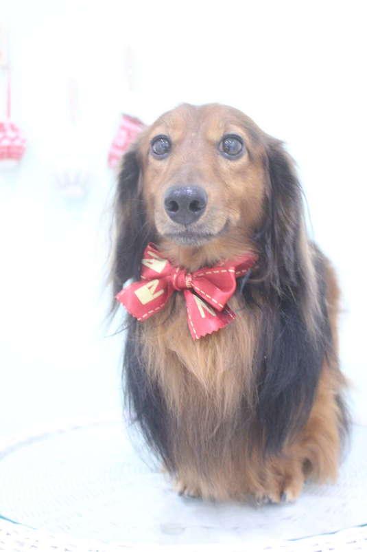 サラサラ 2時間-アダルト(10ヶ月~8才)-グルーミングコース-コースから選ぶ-ダックス-年齢から選ぶ-所要時間から選ぶ-犬種から選ぶ-カットスタイル