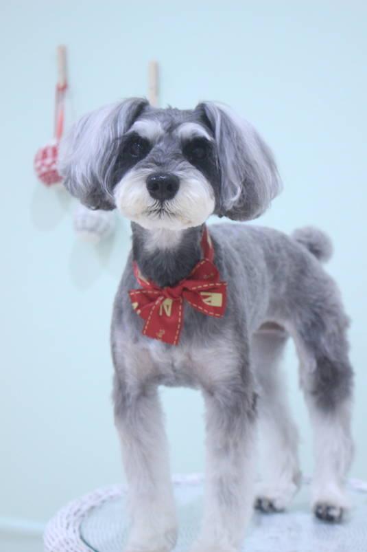 ガーリーシュナ 3時間以上-Mシュナウザー-アダルト(10ヶ月~8才)-コースから選ぶ-ペットカットコース-年齢から選ぶ-所要時間から選ぶ-犬種から選ぶ-カットスタイル