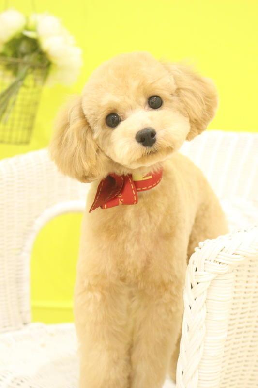 テディベア♡ 3時間以上-パピー(3ヶ月~10ヶ月)-プードル-年齢から選ぶ-所要時間から選ぶ-犬種から選ぶ-カットスタイル