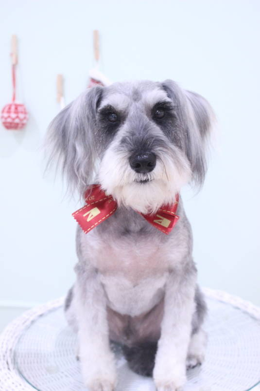 シュナさん 3時間以上-Mシュナウザー-アダルト(10ヶ月~8才)-コースから選ぶ-ペットカットコース-年齢から選ぶ-所要時間から選ぶ-犬種から選ぶ-カットスタイル
