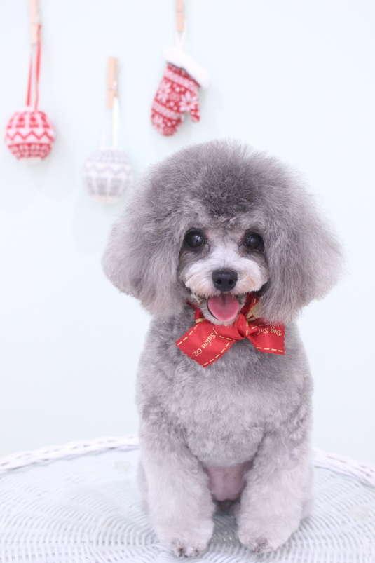 オールシザーコース 3時間以上-アダルト(10ヶ月~8才)-オールシザーコース-コースから選ぶ-プードル-年齢から選ぶ-所要時間から選ぶ-犬種から選ぶ-カットスタイル