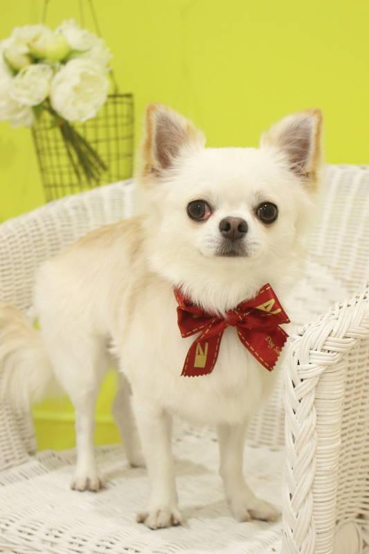 チワワちゃん 2時間-アダルト(10ヶ月~8才)-グルーミングコース-コースから選ぶ-チワワ-年齢から選ぶ-所要時間から選ぶ-犬種から選ぶ-カットスタイル