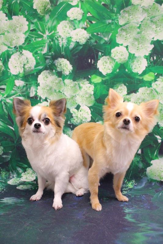 オールシザー☆カット 2時間-アダルト(10ヶ月~8才)-オールシザーコース-コースから選ぶ-チワワ-年齢から選ぶ-悩み・特徴から選ぶ-所要時間から選ぶ-犬種から選ぶ-肌が弱い-カットスタイル