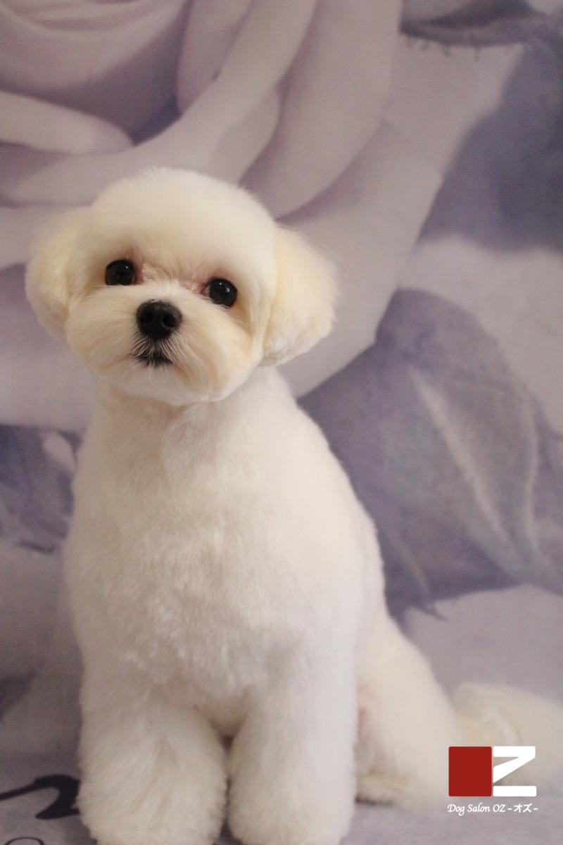 Puppy風カット♡ 2時間半-アダルト(10ヶ月~8才)-オールシザーコース-コースから選ぶ-マルチーズ-年齢から選ぶ-所要時間から選ぶ-犬種から選ぶ-カットスタイル