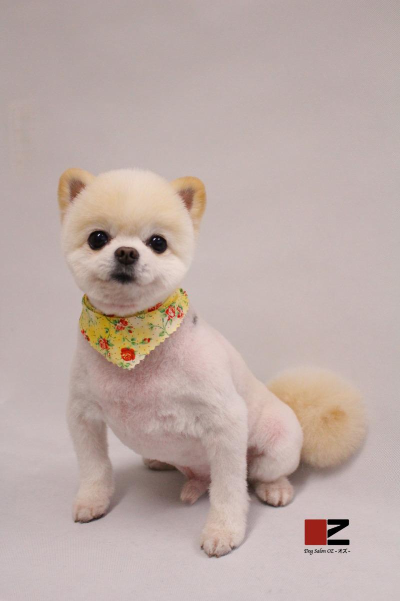 パピーフェイス★ 2時間-アダルト(10ヶ月~8才)-コースから選ぶ-スピーディーカットコース-ポメラニアン-年齢から選ぶ-所要時間から選ぶ-犬種から選ぶ-カットスタイル